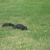 black squirrel in Ottawa