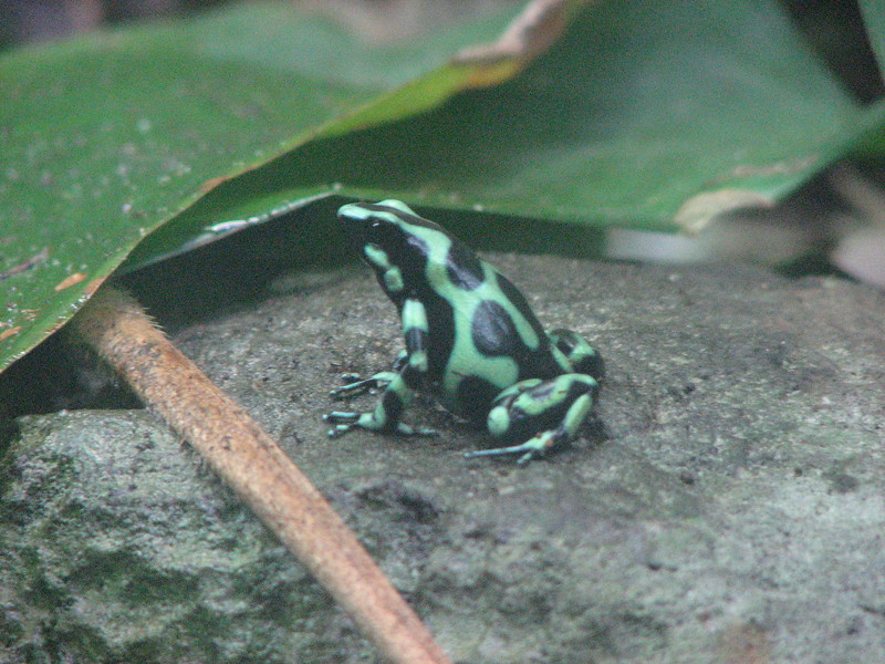 Montreal Biodome - poison arrow frog