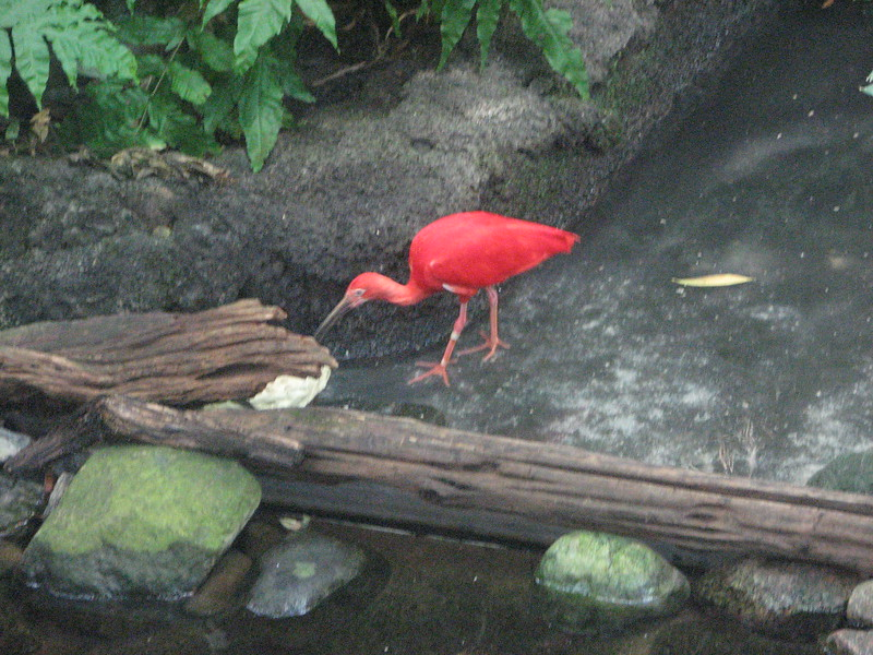 Montreal Biodome - scarlet ibis