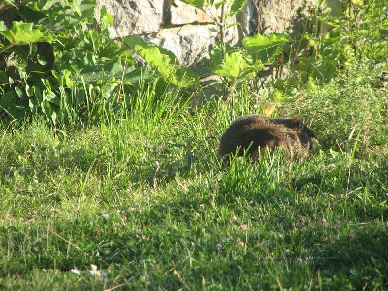 groundhog at Mont Royal, Montreal