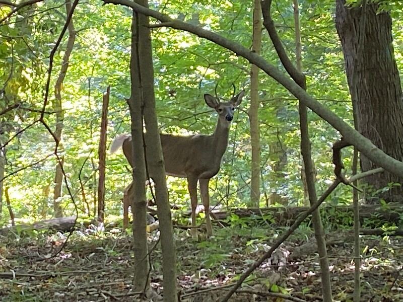 Deer photo by Mike Minium taken at control site 52 during course planning on Sept 29