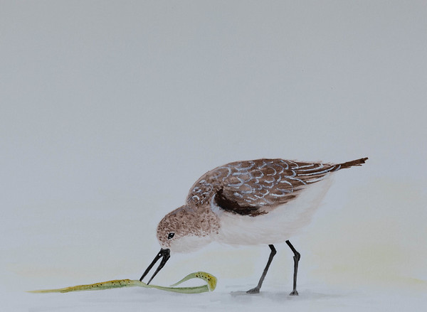 Sand Piper at Fort Funston