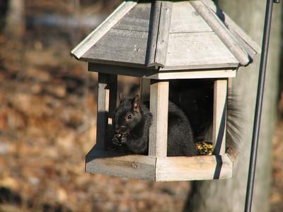 Eastern Gray Squirrel - black morph