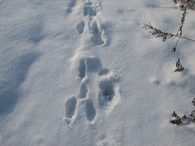 Coyote and European Hare - tracks