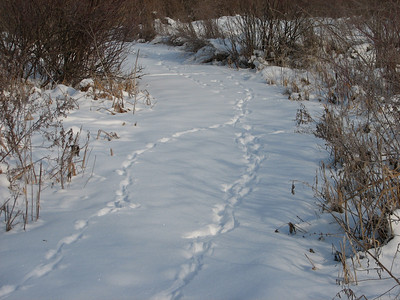 Coyote - trail and tracks
