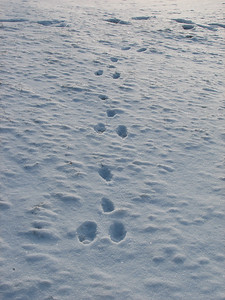 European Hare - tracks and trail