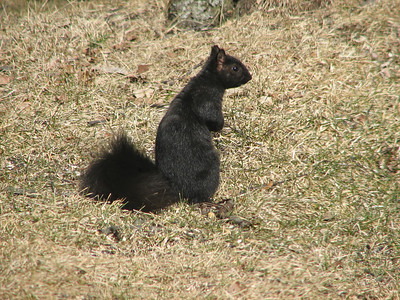 Eastern Gray Squirrel - black phase
