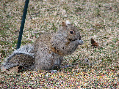 Eastern Gray Squirrel - gray phase
