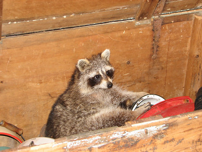 Raccoon - can someone please show me the exit?!