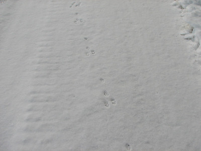 Eastern Cottontail - tracks and trail