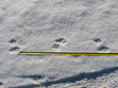 "Raccoon - tracks and trail, stride between track sets of 10""-12"", 2-2 trail pattern clearly shows the larger hind track alternating from one side to the other, and always paired with a smaller front track."