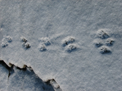 Raccoon - tracks and trail