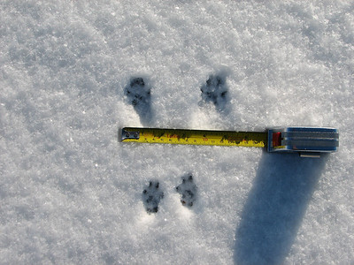 Eastern Gray Squirrel - tracks