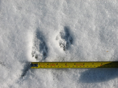 "Raccoon - tracks, trail width of 5"""