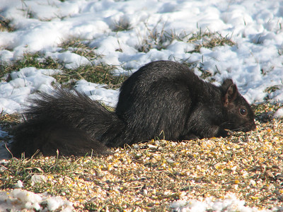 Eastern Gray Squirrel - black variant