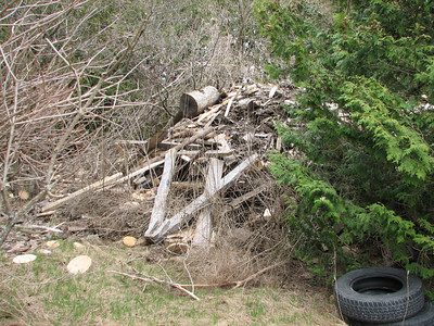 Eastern Cottontail - den located in man-made wood pile