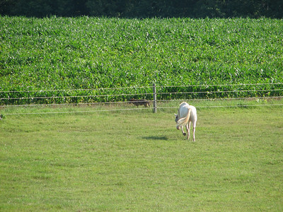 Coyote - white horse kept following him