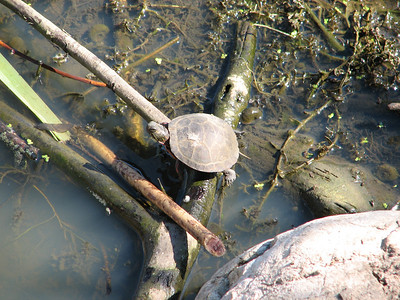 Midland Painted Turtle - habitat loss from beaver pond drying up during drought