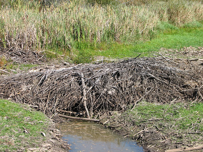 Beaver - pond drying up due to drought, exposed winter cache