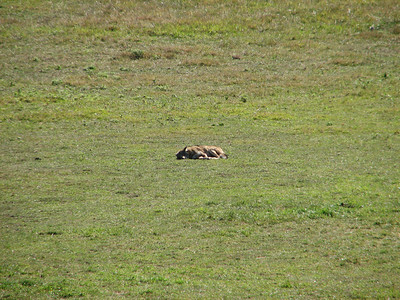 Coyote - sound asleep in the horse pasture