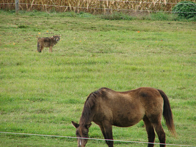 Coyote - in same pasture field as horses - no problems!