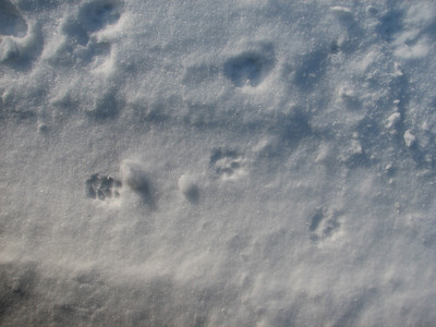 Domestic Cat - tracks