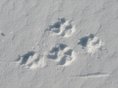Coyote - tracks, exagerated width due to attempt to spread out toes and keep on top of snow