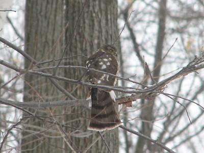 Sharp-shinned Hawk - juvenile
