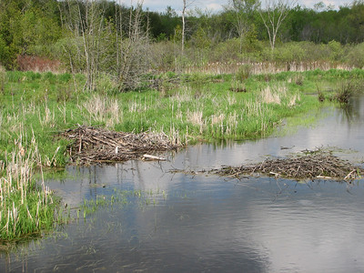 Beaver - area re-flooded after severe drought of 2007 drained the pond, lodge and cache are now partly submerged.