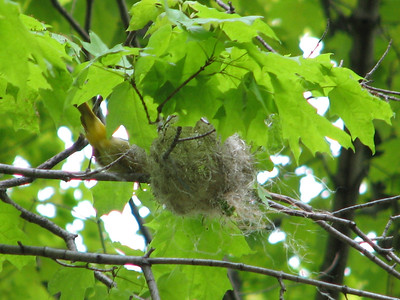 Baltimore Oriole nest, 3rd day of construction, female present