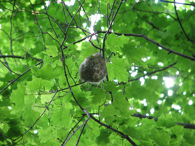 Baltimore Oriole nest, 2 weeks later