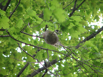 Baltimore Oriole nest, 5 weeks later