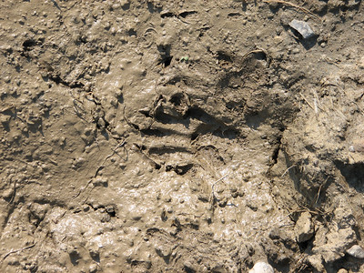 Raccoon - track