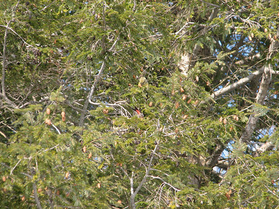 Pair of White-winged Crossbills feeding on Eastern Hemlock cones, male with red rump and green female shown above the male