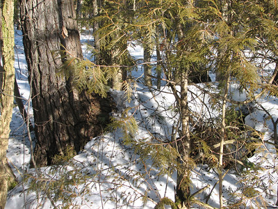 Base of white pine shown in previous photos, scat on snow near base of tree