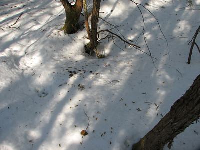 Ruffed Grouse scat on snow