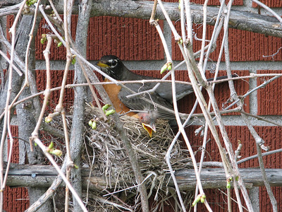 American Robin nest: Day 4 since hatch shows hatchlings big enough to allow head dangling over edge! It looks dead but was just having a sleep!