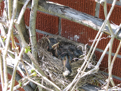 American Robin nest: day 7 shows bigger and darker hatchlings