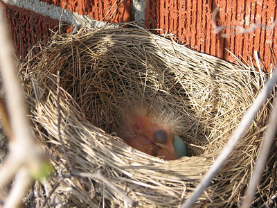 A week later on May 4th, the American Robin saga continues.  Today is when the eggs hatched, with three hatched and one more egg to go.