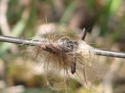 Raccoon hair caught in barbed wire