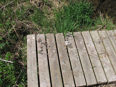 Northern River Otter scat on wooden bridge over small creek