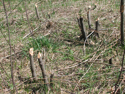 Several cut trees within a few yards of the Beaver pond. These present a serious hazard and require careful navigating to avoid tripping and being impaled.