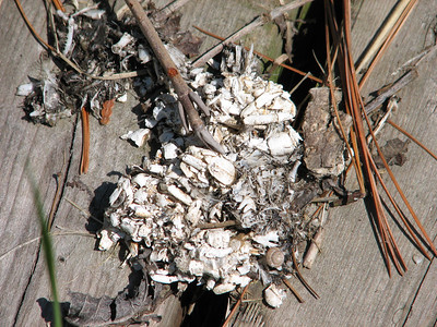 Northern River Otter scat close-up reveals several crayfish and fish parts in the scat