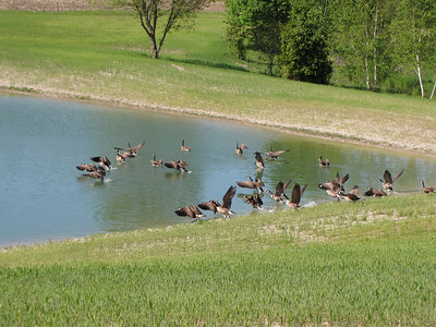 Flock of Canada Goose taking off from pond