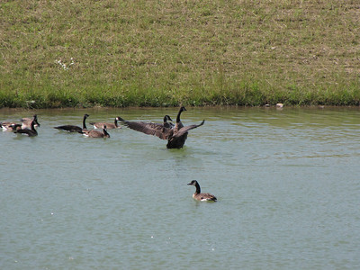 Canada Goose - bathing and preening, sometimes completely submerging