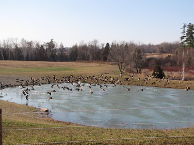 Canada Goose - what a commotion!