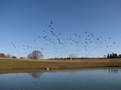 Canada Goose - taking off in large flock of approximately 250