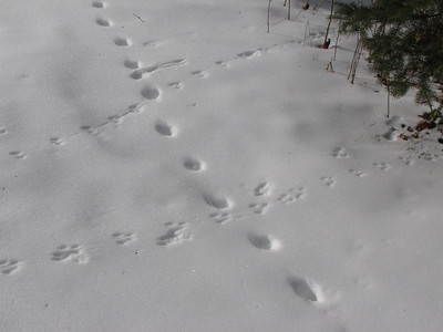 White-footed Mouse tracks crossing Domestic Cat trail