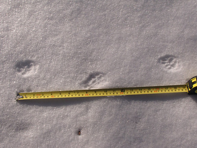 Domestic Cat tracks