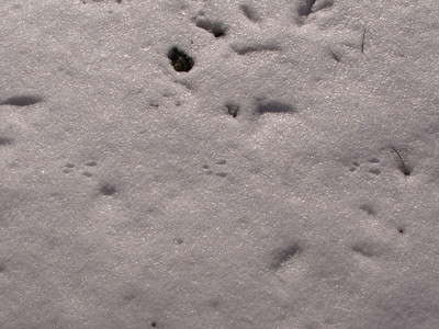 White-footed Mouse tracks